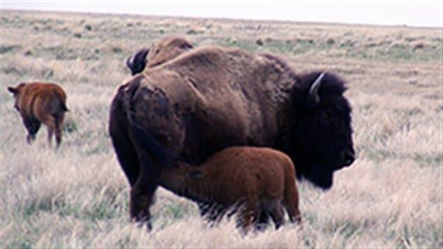 Bébé bison près de sa mère
