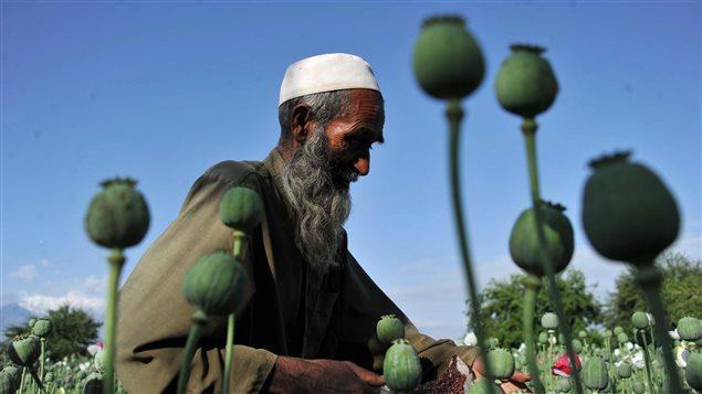 La culture du pavot en hausse en Afghanistan