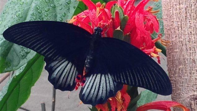 Papillons en libert au jardin botanique ici radio for Papillon jardin botanique 2015