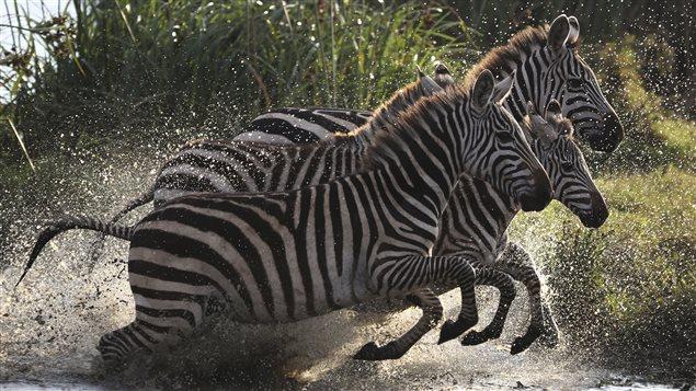 Des zèbres dans le parc national de Nairobi