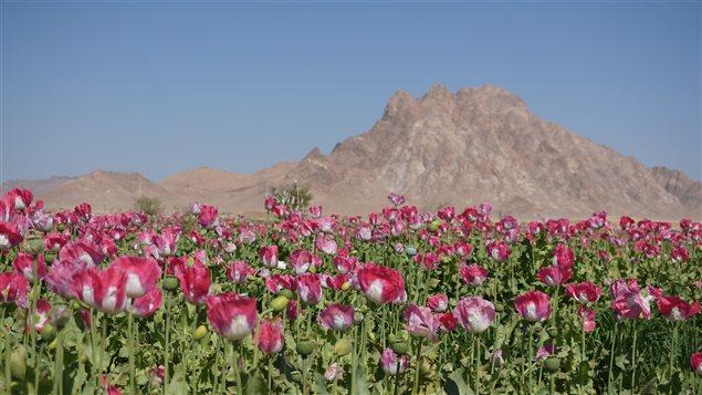 Champs de pavot en Afghanistan
