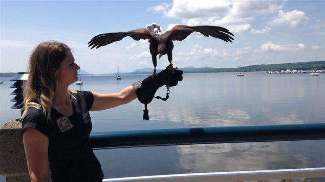 La Ville de Magog aura recours à un oiseau de proie pour chasser les oiseaux qui polluent ses plages.
