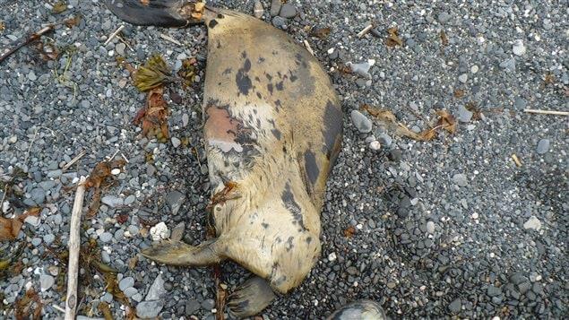 Un des phoques démembrés a été trouvé à Cap-au-Renard.