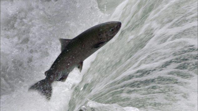 Le saumon quinnat est la proie de prédilection des épaulards.