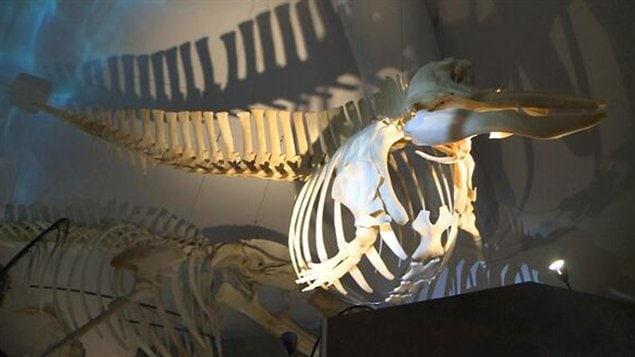 Le Centre d'interprétation des mammifères marins expose 13 squelettes.