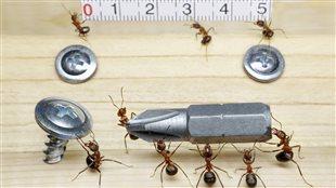 Le travail d'équipe de fourmis charpentières