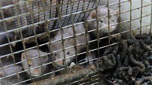 Les cages sont bourrées d'excréments et n'offre pas un accès adéquat à l'eau, selon la SPCA.