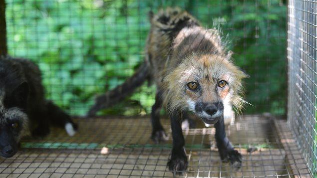 La vétérinaire de la SPCA afifrme que les 91 renards qu'elle a examinés étaient déshydratés.