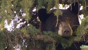 L'ours était tranquillement perché dans un arbre