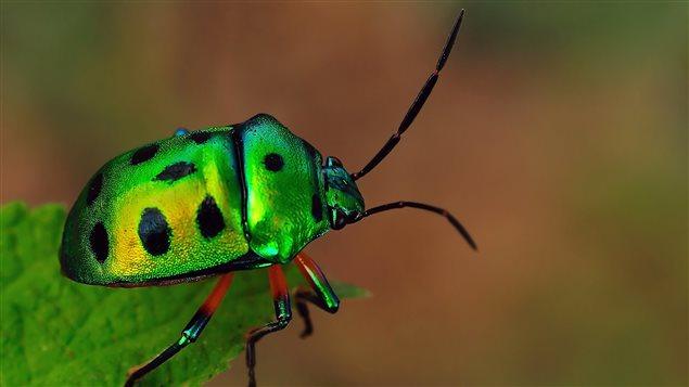 Scarabée vert