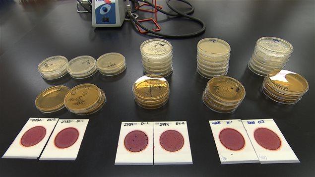 Nous avons fait analysé des morceaux de viande pour mesurer la présence de bactéries.