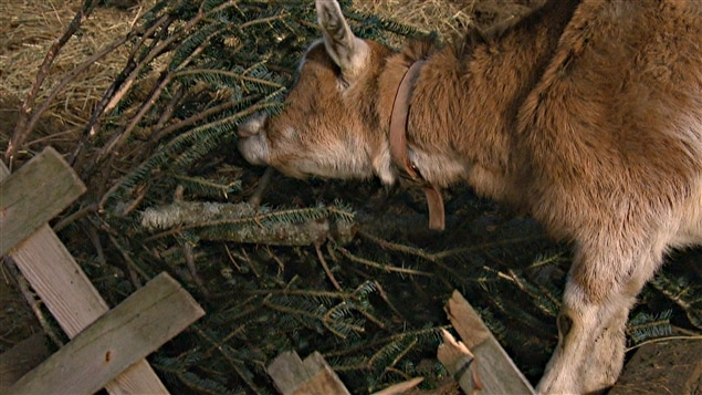Les chèvres apprécient les sapins, même ceux de Noël lorsqu'ils ne sont plus décorés.