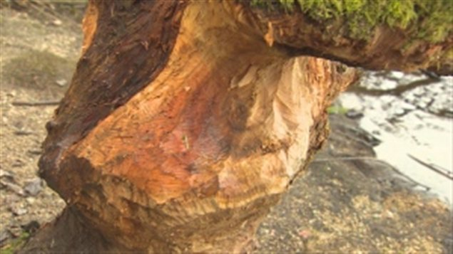 Parc stanley un inconnu veut aider les castors mais ab me les arbres ici radio - Detruire souche arbre rapidement ...