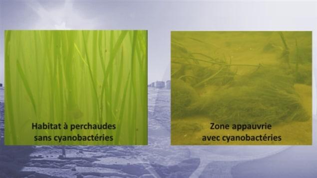 Évolution de l'habitat de la perchaude