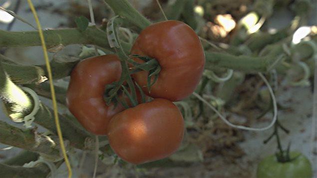 Plusieurs acquéreurs démontrent leur intérêt pour les tomates Savoura.