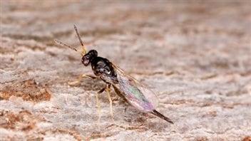 La guêpe Tetrastichus Planipennisi a été introduite dans le parc de la Gatineau pour lutter contre l'agrile du frêne.