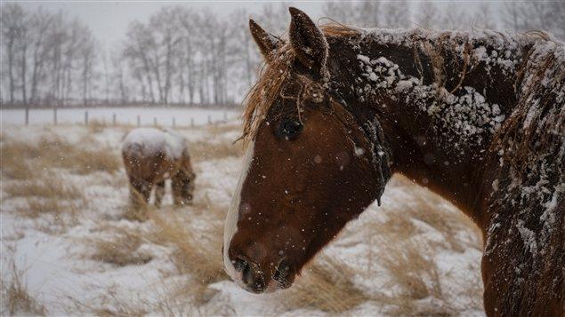 Des chevaux en hiver près de Cremona en Alberta