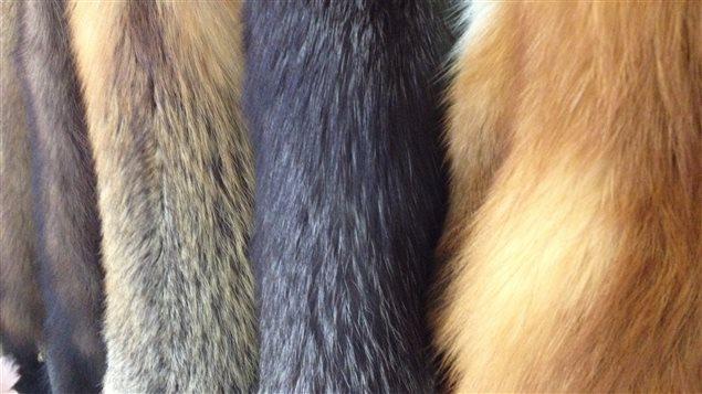 Les peaux de différentes variétés de renards répertoriées en Abitibi-Témiscamingue