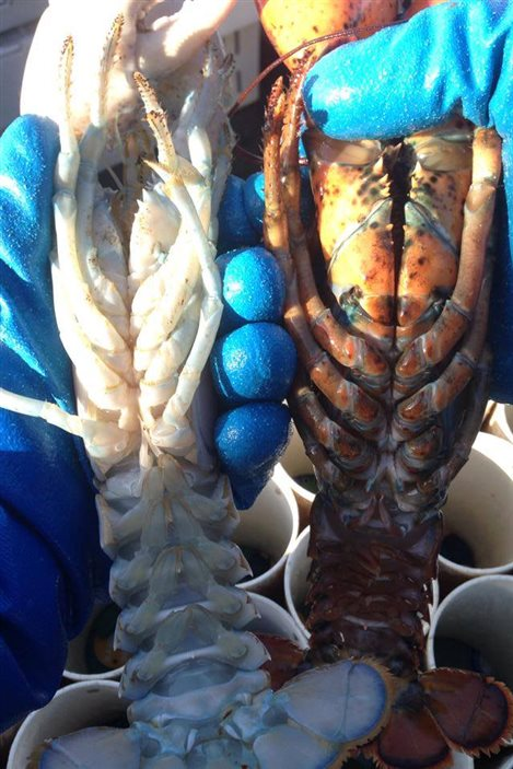 Un homard albinos comparé à un homard normal.
