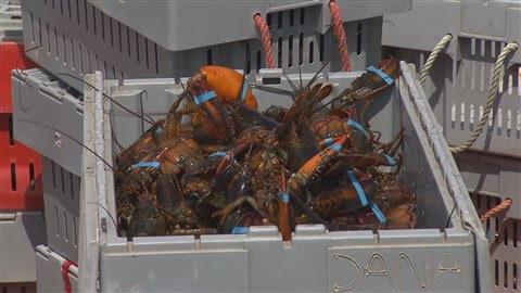 Sitôt débarqués, les homards sont placés dans des caisses, puis acheminés vers les viviers des différentes usines de l'archipel