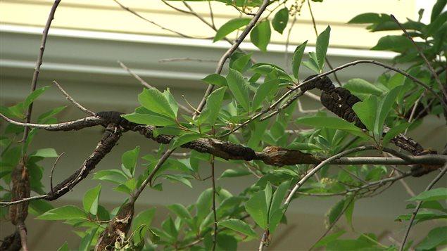 D bats anim s entourant la maladie du nodule noir du - Maladie du cerisier ...