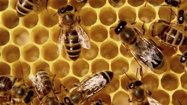 Les abeilles sont menacées par l'utilisation abondante de produits chimiques.