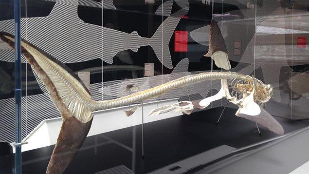L'exposition «Géants des mers», du musée Exploramer, à Sainte-Anne-des-Monts