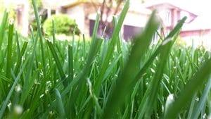 Une pelouse biologique
