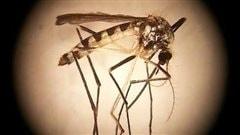 Pourquoi les moustiques nous piquent-ils?