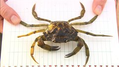 Le cauchemar des crabes verts envahissants dans la baie de Shediac