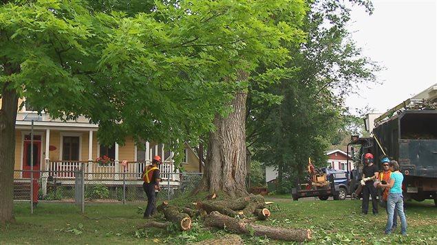 la maladie hollandaise de l 39 orme a raison d 39 un arbre plus que centenaire ici radio. Black Bedroom Furniture Sets. Home Design Ideas