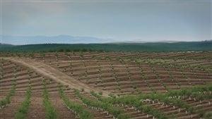 Des champs d'amandiers à perte de vue en Californie