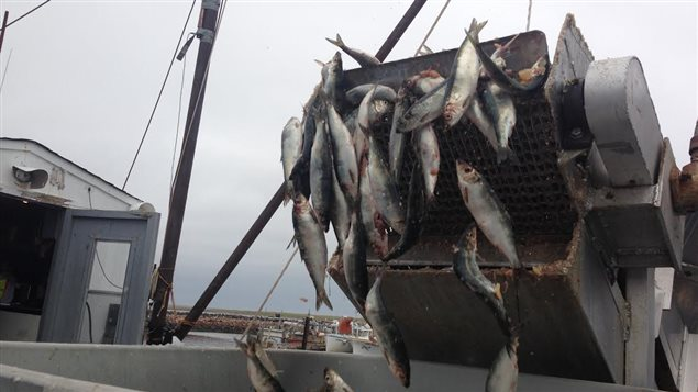 Des prises de hareng dans la Péninsule acadienne
