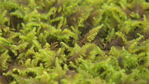 Ptilium crista-castrensis, ou hypne plumeuse, que Suzanne Campeau appelle lit de plume.