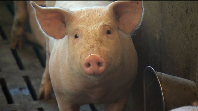 Les porcs pourront être nourris sur mesure avec ce nouveau système.