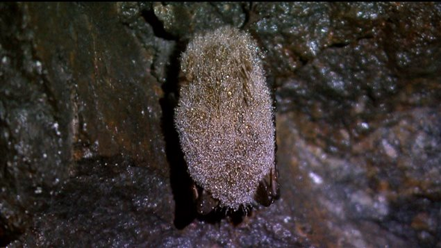 Chauve-souris de la caverne Laflèche