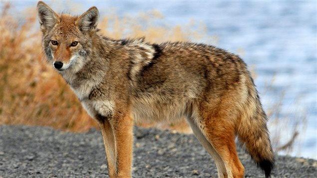 J'ai peut etre trouvé ma TT RS mkII 151005_x74zh_coyote-saskatoon-coureuse_sn635