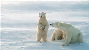 Une femelle ours polaire et ses petits