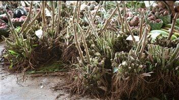 Des racines de kava en vente dans un marché.