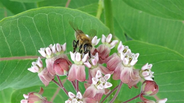 Une abeille butinant une fleur d'asclépiade
