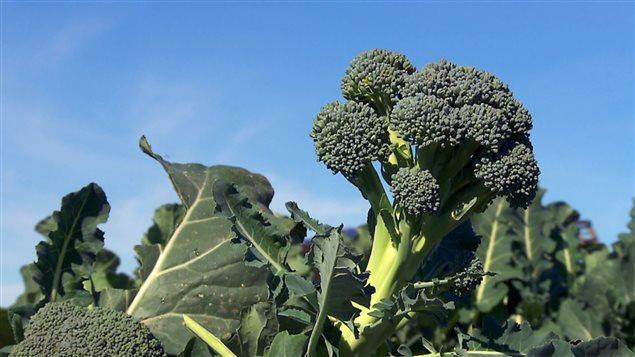Le brocoli cultivé en Californie voyage plus de 5000 km.