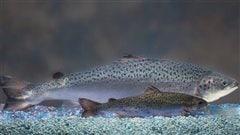 Le saumon transgénique autorisé pour la consommation aux États-Unis