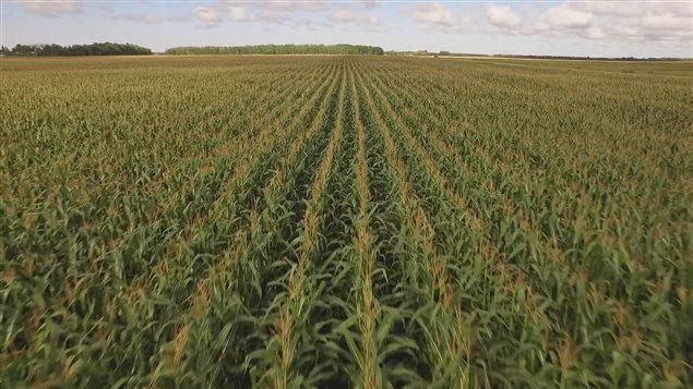 Un champ de maïs-grain