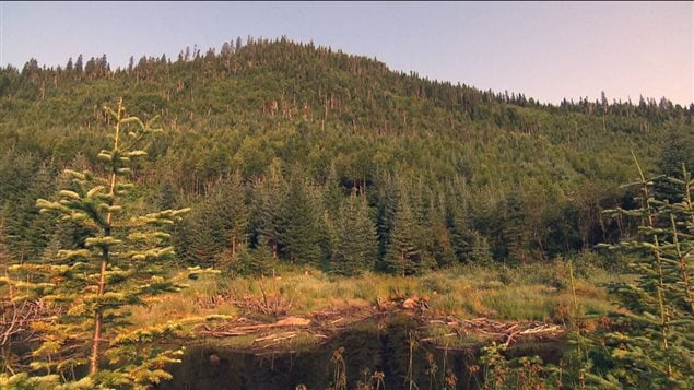 La forêt borélae représente le tier de toutes les forêts du monde.