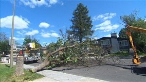 Un arbre abattu afin de prévenir la propagation de l'agrile du frêne