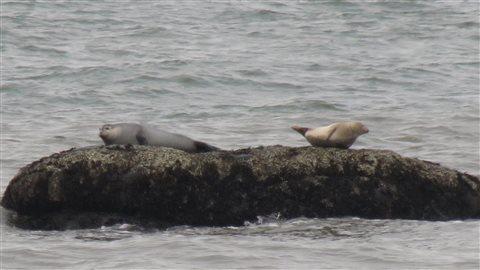 Deux phoques gris dans le Saint-Laurent