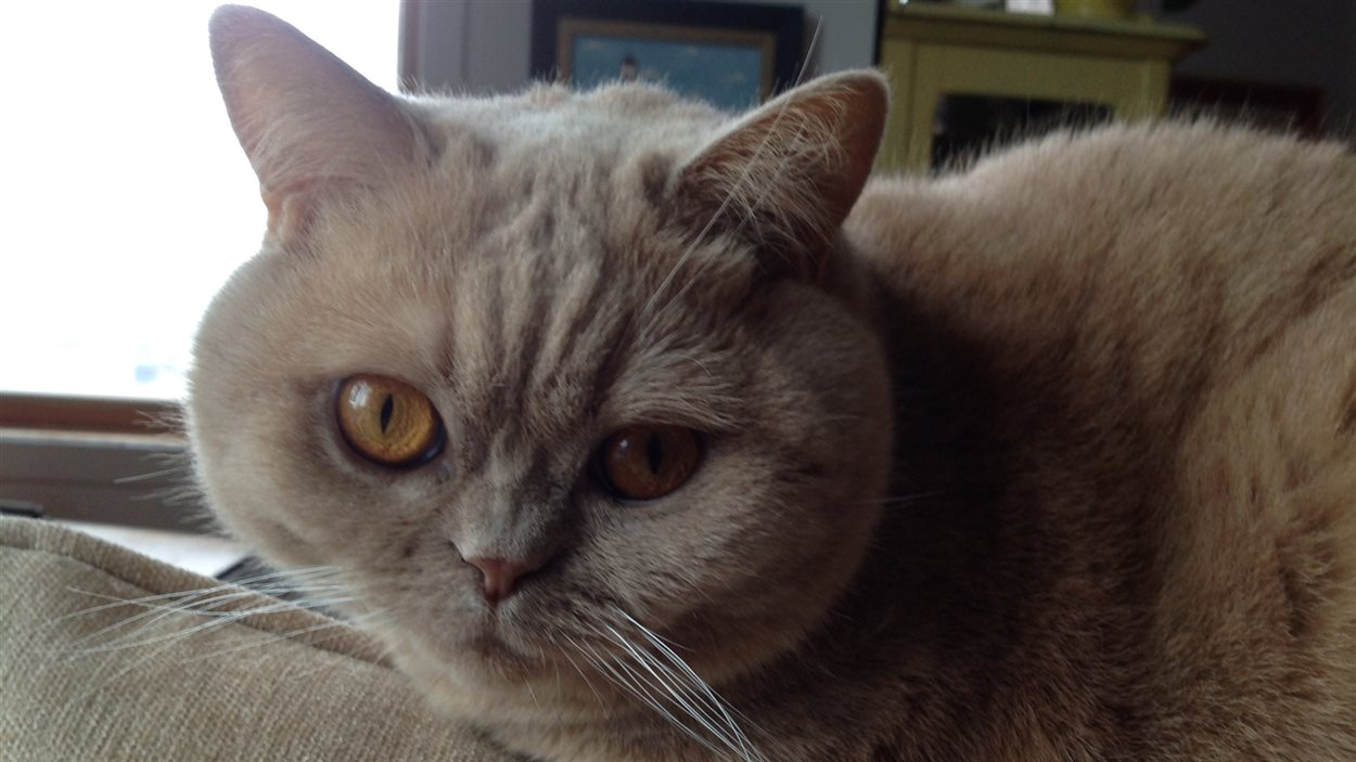 Chat de race British Shorthair
