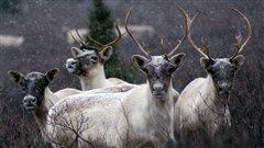 Quel avenir pour les animaux nordiques?