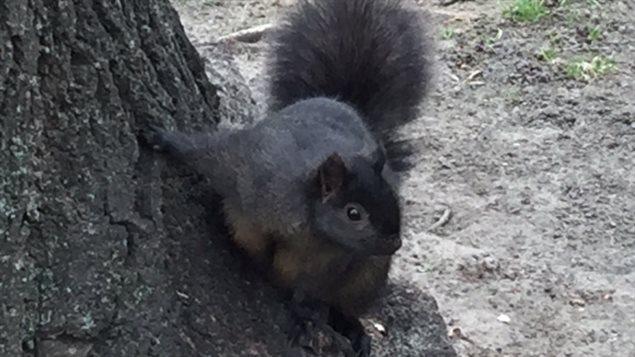 Certaines personnes ont remarqué que les écureuils semblaient avoir plus de difficulté à grimper aux arbres.