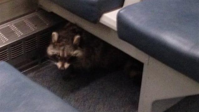 Un raton laveur prend le train GO sur la ligne Lakeshore